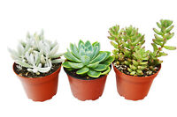 "3 Succulent Variety Pack / 4"" Pot / Live Home and Garden Plan"