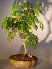 Bonsai Trees for Sale Flowering Brazilian Raintree Bonsai Tree - Medium E2308