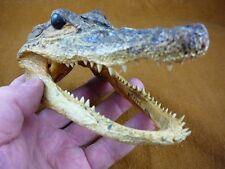 """(G-Def-209) 5-1/8"""" Deformed Gator ALLIGATOR Aligator HEAD teeth TAXIDERMY gators"""
