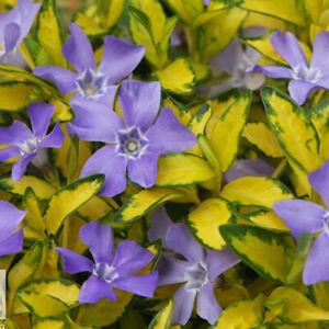 1 VINCA MINOR ILLUMINATION LESSER PERIWINKLE EVERGREEN SHRUB GARDEN PLANT IN POT