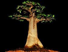 10 Samen Affenbrotbaum, Adansonia digitata, Baobab, Elefantenfutter, Bonsai