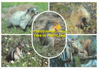 L067799 Animals in the Canadian Rockies. Marmot. Porcupine. Red Squirrel. Byron