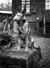 Photo.  1917.  WW1.  Dog Sitting On Desk - Gas Mask