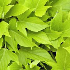Ipomoea 'Sweet Georgia Light Green' Window Box vine/Ground cover 1-Cutting