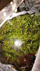 Caulerpa Prolifera Chaeto Macro Algae 10 blade food