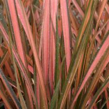 Phormium tenax Pink Panther in 9cm pot