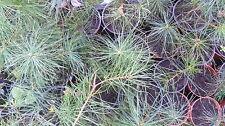 Wald-Kiefer, Wald-Föhre  Pinus sylvestris ca. 20cm - 30 cm