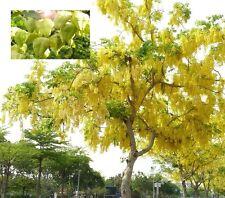 Blasenesche  - winterharter Gartenbaum - Blütenexplosion im Sommer !! Samen ....
