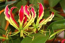 Gloriosa superba - Flame or Fire Lily - Rare Tropical Plant Seeds (10)