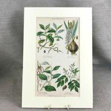 Engraving Original Botanical Art Prints