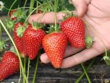 Strawberry Geneva Seeds large-fruited red strawberry Ukraine 10 seeds