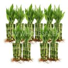 Lucky Bamboo - 100 Plants of 4