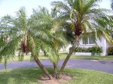 Pygmy Date Palm - PHOENIX ROEBELENII - 12 Seeds - Tropicals