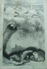 "ANTIQUE PRINT 1889 A PRAIRIE DOG ""TOWN"" ENGRAVING NATURE REV J G WOOD ETCHING"