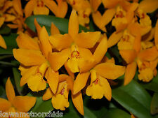 BIN-Lc. Gold Digger 'Fuchs Mandarin' Easy to grow Cattleya orchid Plant! Nice!