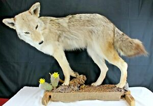 Taxidermy Animal Coyote Full Body Mount Natural-Hunting-Cabin Décor-Outdoors