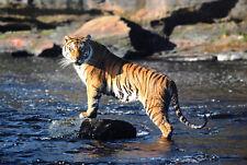 New ListingTiger Cat Wild Animal Postcard Mint New Condition Ref: Cat44
