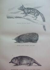 Antique Print C1870'S Porcupine Ant Eater Duck Billed Platypus Dasyure Etching