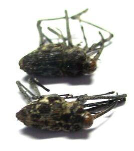 F001 Mi : LN : Mecopus species? 2pcs. 12mm