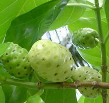 50 Noni Seeds,Very Rare Fruit Mulberry Great Morinda Citrifolia SEEDS FROM THAI