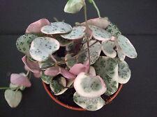 Aus der Raritätenecke....Ceropegia woodii variegata Leuchterblume / 3161