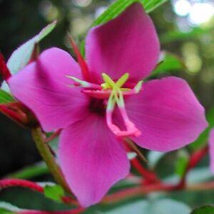 "Rare ""Princess Flower""! - Heterocentron suffruticosum - Only internet source?"