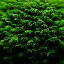 15x Aquarium Pflanze Fissidens fontanus Quellenliebende Spaltzahnmoos Samen #313