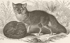 FOXES. The grey fox 1893 old antique vintage print picture