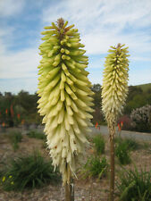 Kniphofia Green Jade (red hot poker) BARE ROOTED  perennial plant