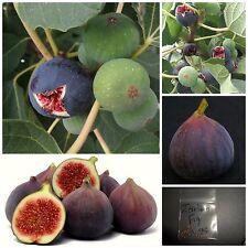 Fig Tree - 3 Varieties 25+25+25 Top Quality Seeds - Amazing Taste - Must Try!