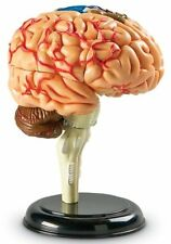 Brain Model Learning Resources Human Anatomy Medical Student Realistic Stand New