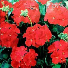 GERANIUM (Pelargonium Zonale Moulin Rouge) 6 seeds (#1310)