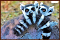 Ring Tailed Lemur - Poster Print - Enhanced Watercolor Art - FREE FAST SHIPPING