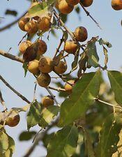 15 graines de Coromandel Ebony (Diospyros melanoxylon) SEEDS SAMEN SEMILLAS