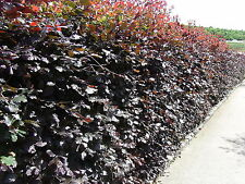 100 Copper Purple Beech Hedging 40-60cm Beautiful Strong 2yr Old Plants 1-2ft