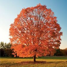 15 Seeds Sugar Maple Tree Seed Imported American Maple Pack Good Germination