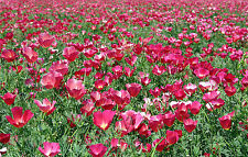 Pink Poppy Seed, Carmine King, Heirloom Poppies, Annual Wildflowers Non-Gmo 75ct