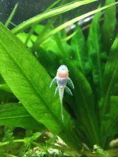 10 Bristlenose Albino Pleco Long fin An inch in size