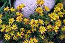 Sedum floriferum 🏵 Weihenstephaner Gold winterhart wintergrün Steingarten plant