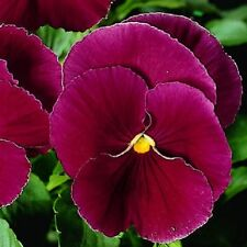 Pensamiento se arrastra floración invernal Cool Wave Frost 20 semillas