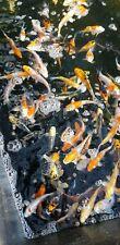 Japanese koi carp pond fish