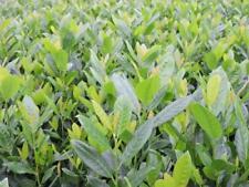 Ausgewachsene-Pflanzen-Kirschlorbeer-Strauchpflanzen
