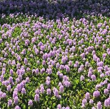 "15 Large XXL (24""~28"") Water Hyacinth Floating Plant Koi Pond Live Fish Aquatic"