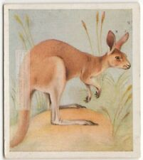 Red Kangaroo Marsupial Australia c80 Y/O Trade Ad Card