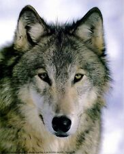 The Wolf - Up Close and Personal: 8x10 In. Print