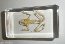 Frog Skeleton East Asian Bullfrog Clear small Block Education Animal Specimen