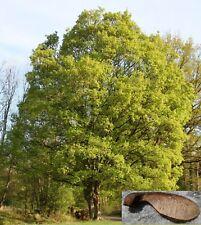 400 semi Acero Campestre