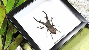 Beetle collection Taxidermy insect in shadowbox entomology specimens BACIMP