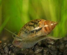 5 TADPOLE / POND SNAILS TROPICAL AQUARIUM LIVE FISH  ALGAE EATER TANK CLEANER