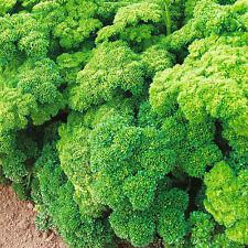 Parsley – Curled Leaf (petroselinum crispum) 50 Reliable Viable Seeds